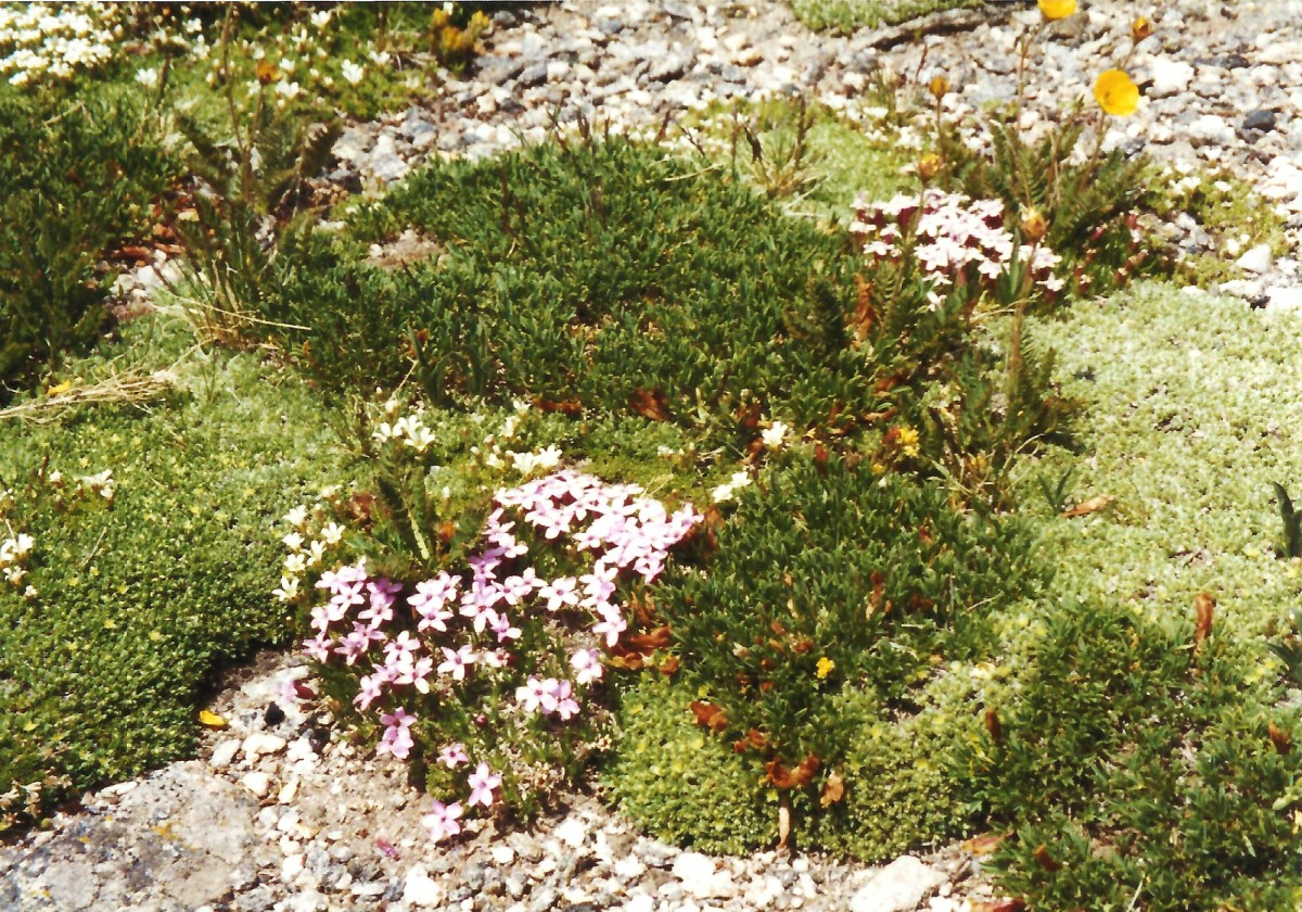 These alpine tundra flowers literally blanket the earth up here!