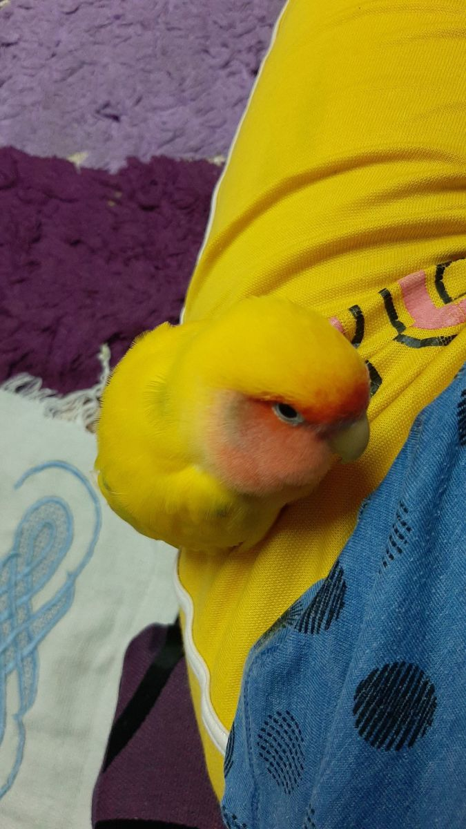 My lovebird Mumu continued to sleep for long periods of time since he was tired. He used his right foot for scratching and balancing.