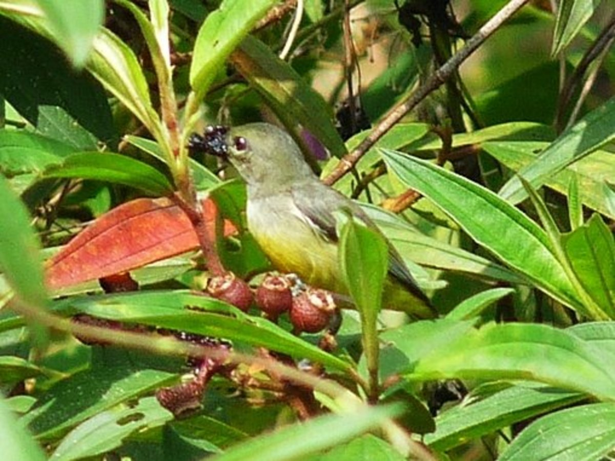 Female Orange-bellied Flowerpecker