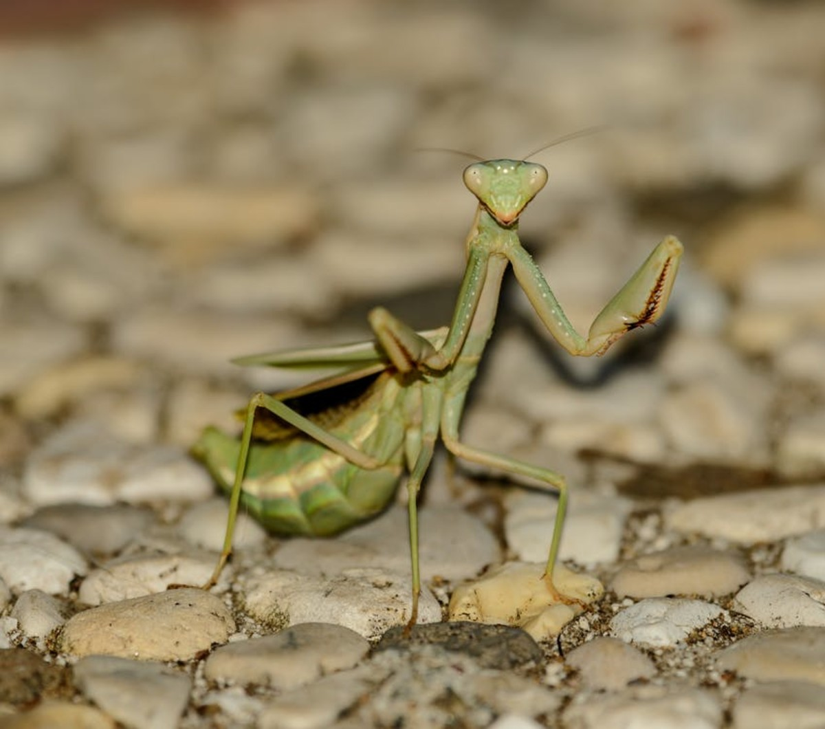 The praying mantis does have a playful side.