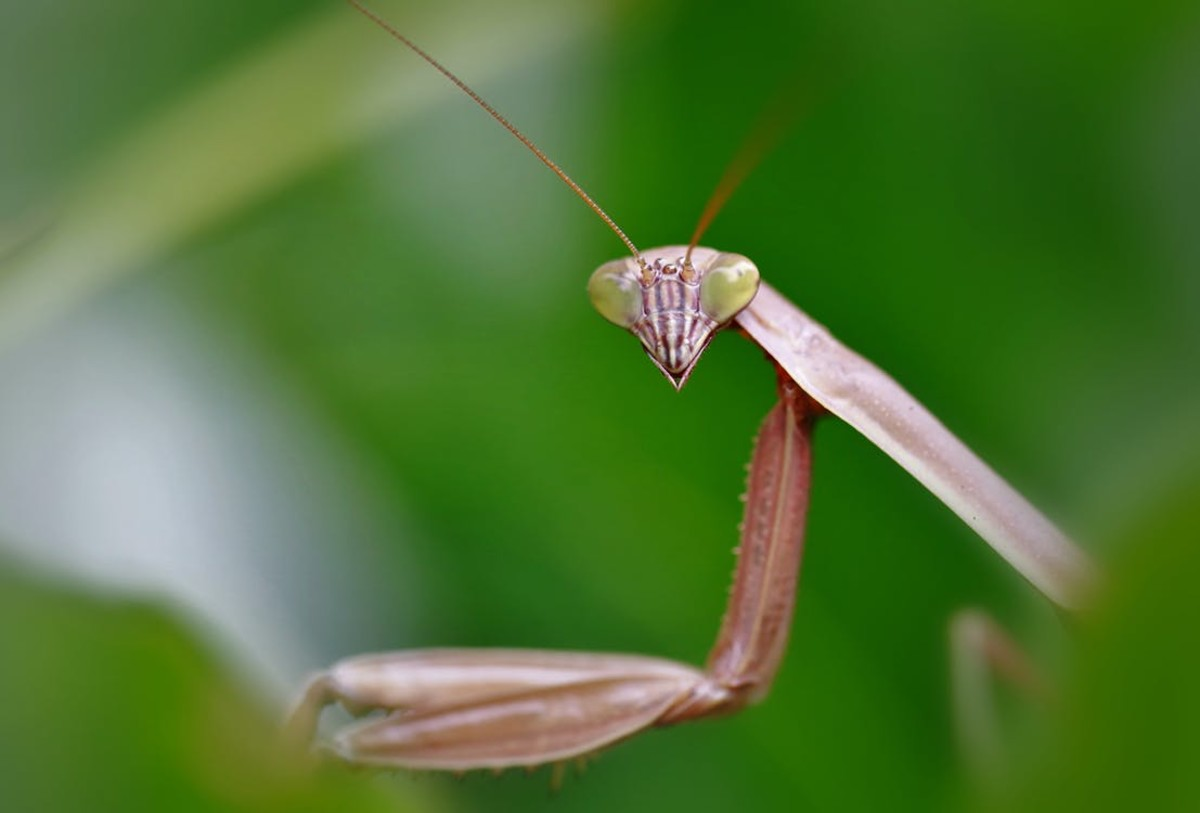 The Praying Mantis is so patient that they will wait for log periods of time for lunch.