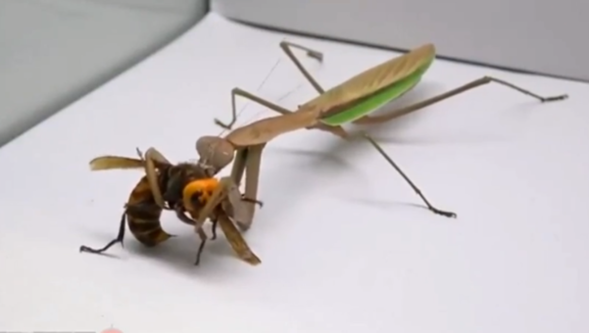 This praying mantis is killing a dangerous hornet wasp.
