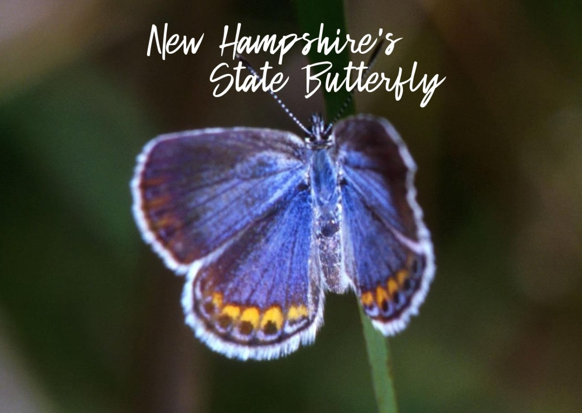new-hampshire-state-butterfly-karner-blue