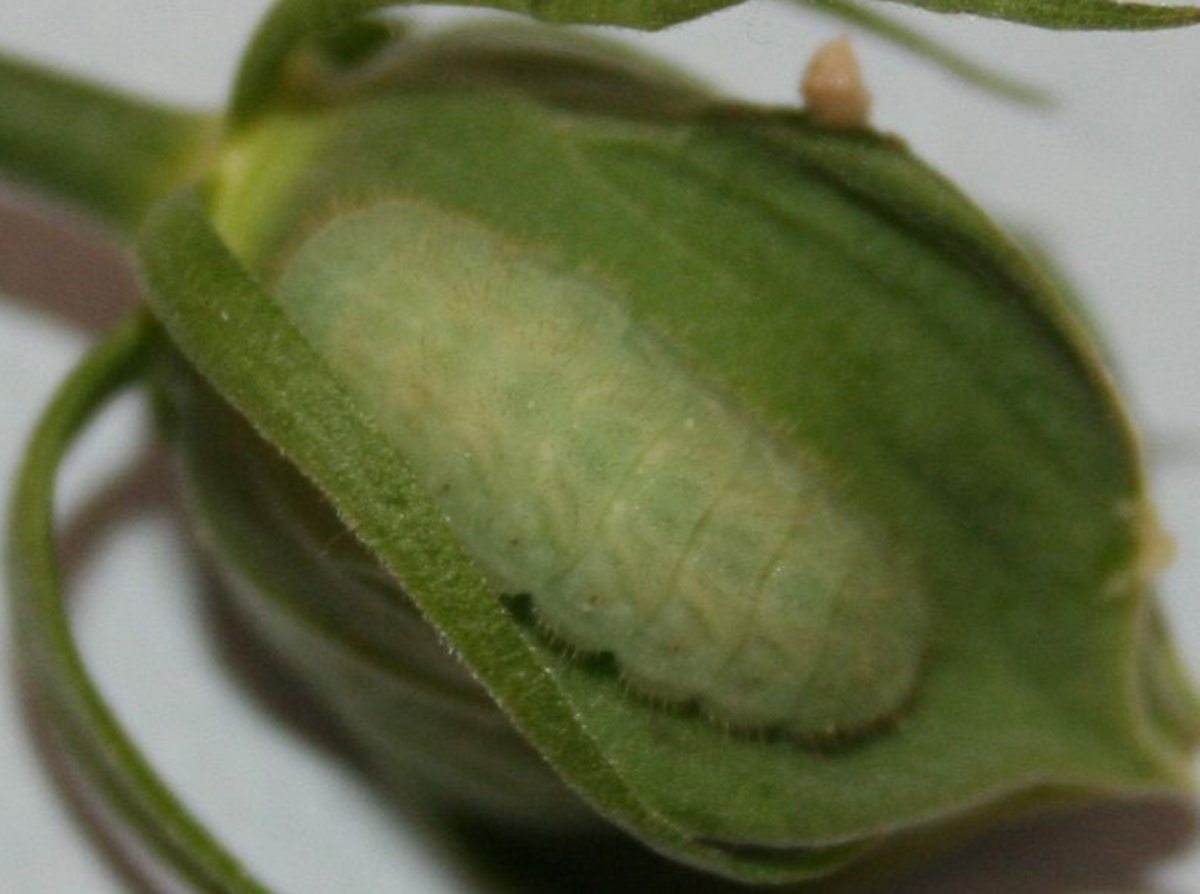Typical caterpillar in the subfamily Polyommatinae, the blues.
