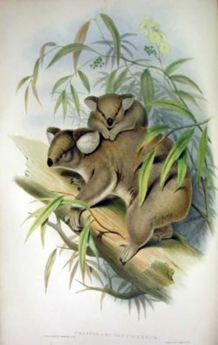 Koala illustration by Gould