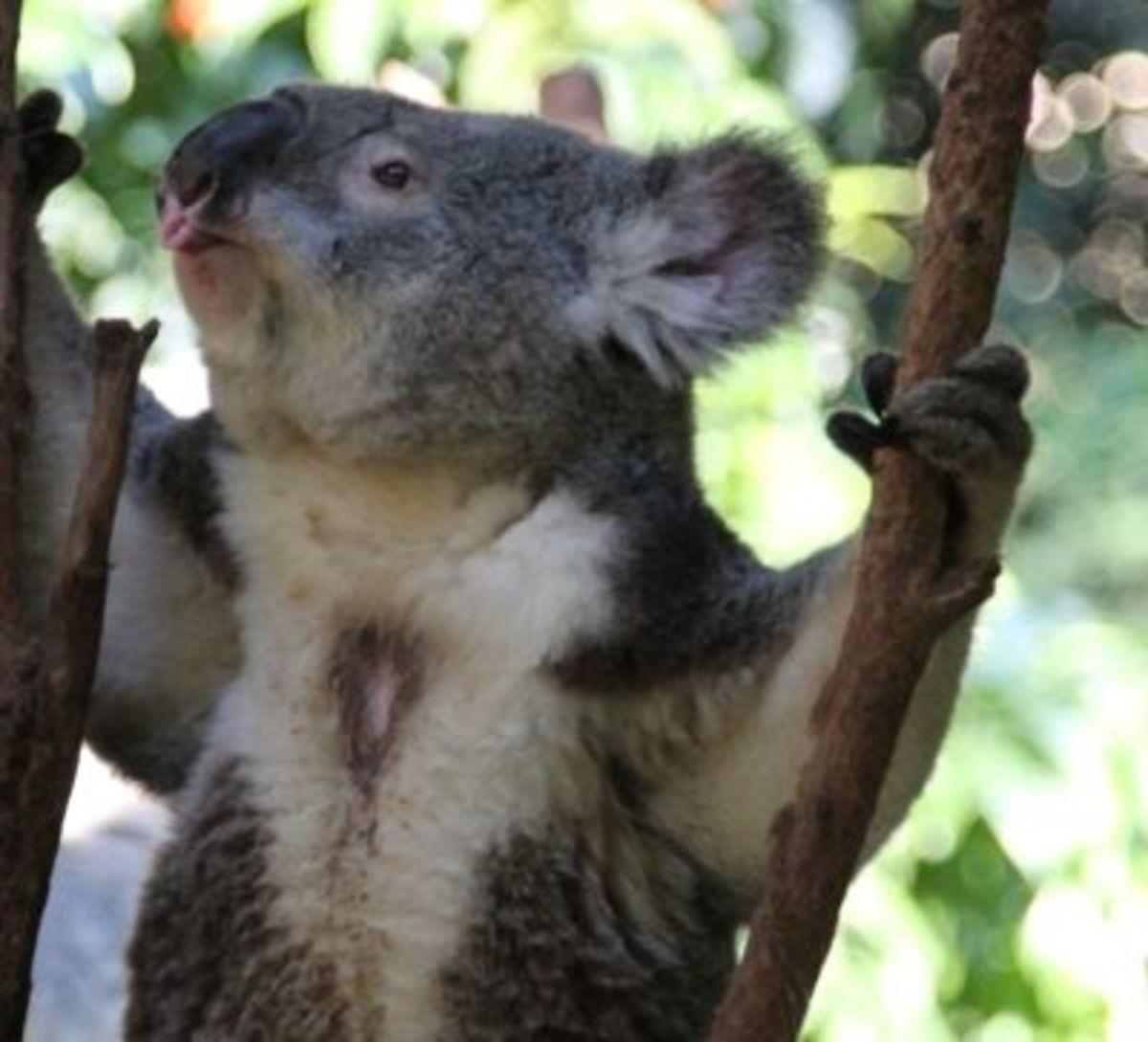 Male Koala's scent gland