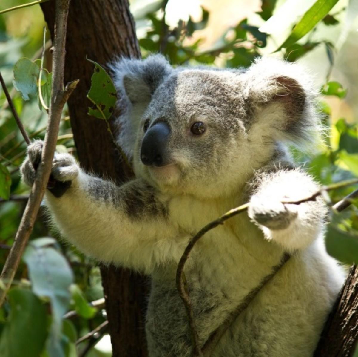baby koala picture