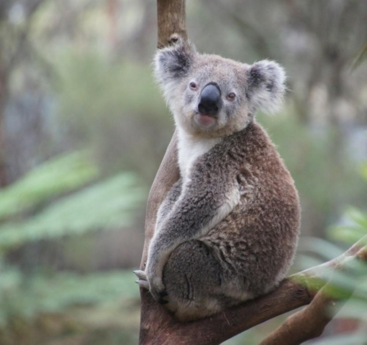 koala in the branch of a tree