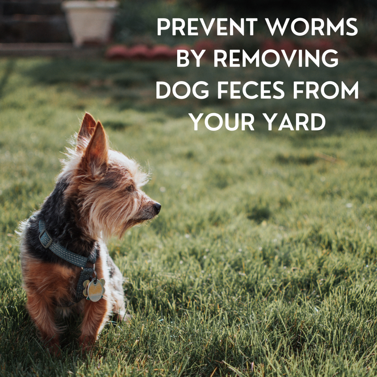 Dogs can contract whipworm by ingesting feces, so make sure to keep your yard clean.