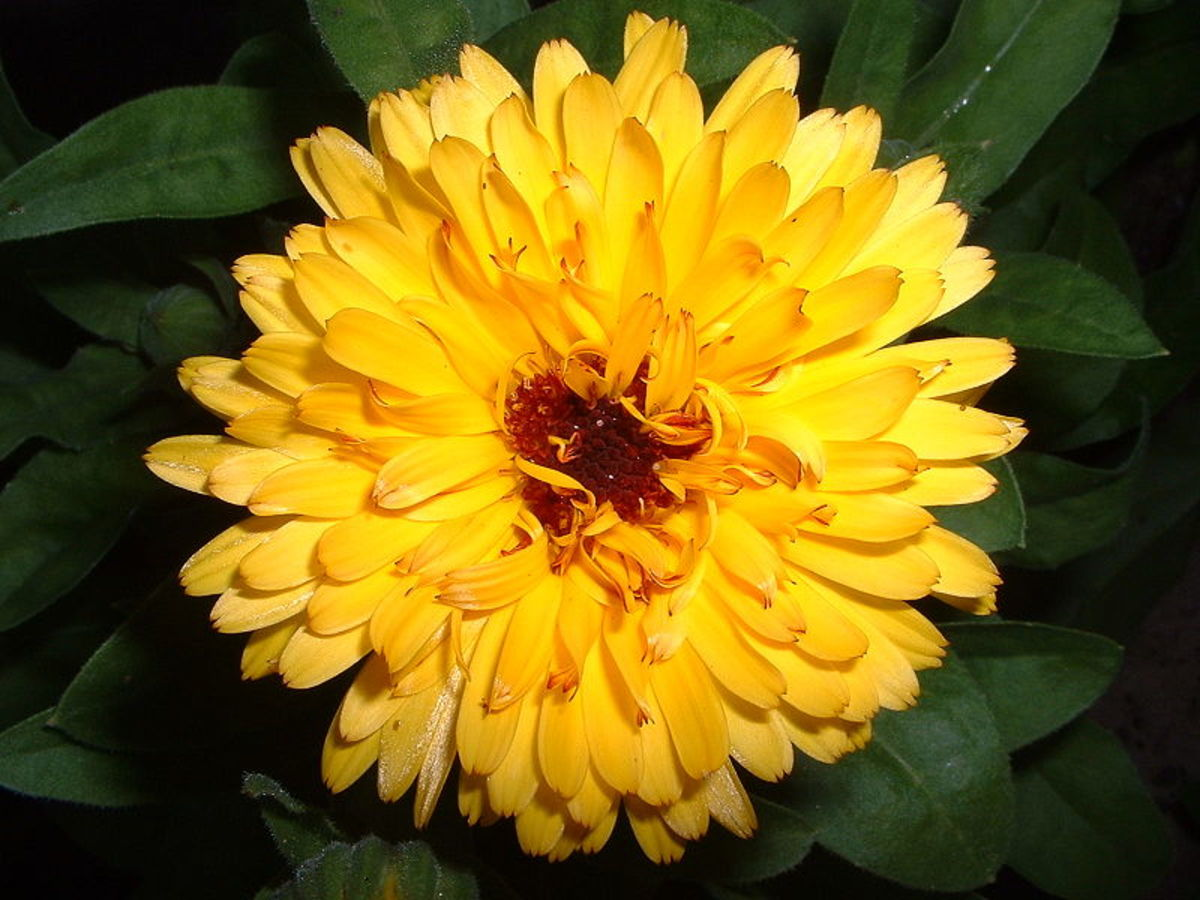 Calendula provides eczema relief by soothing inflammation.