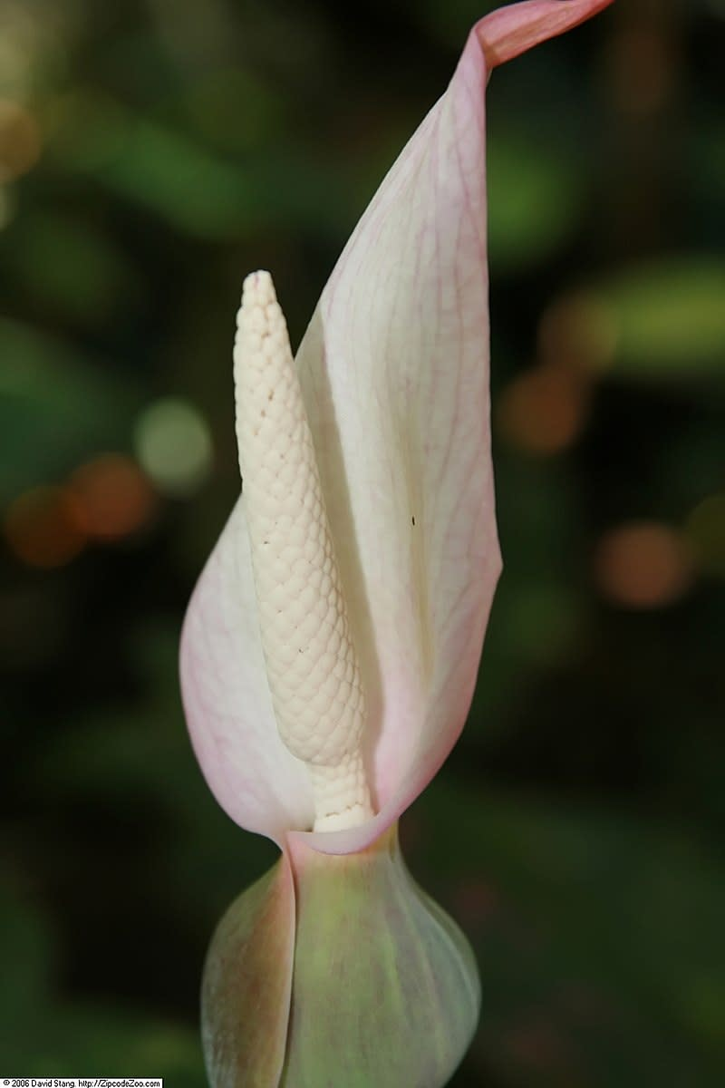 The flowers grow in a spathe similar to calla lilies and Jack-in-the-Pulpits.