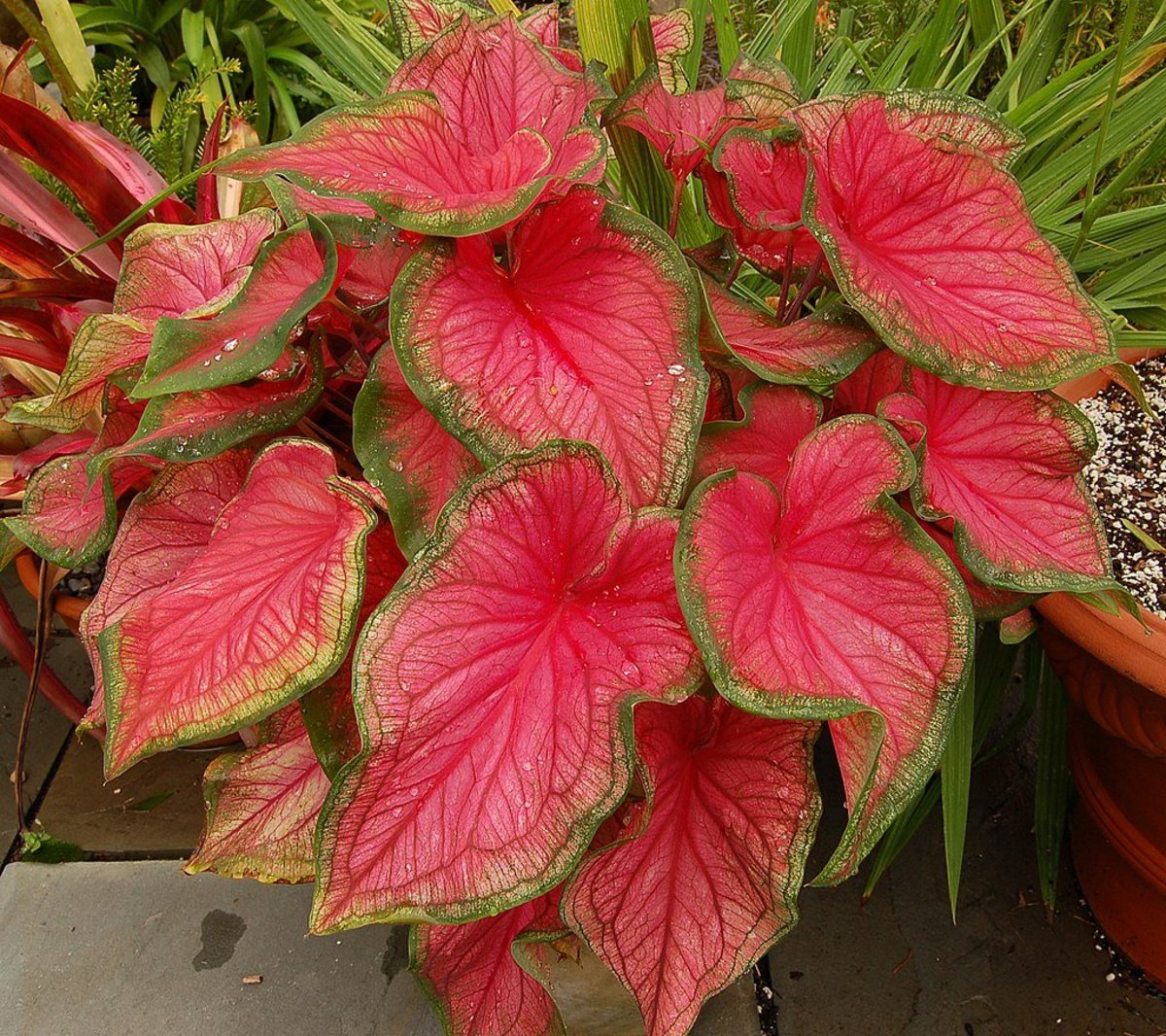 how-to-grow-caladiums-indoors-or-outdoors