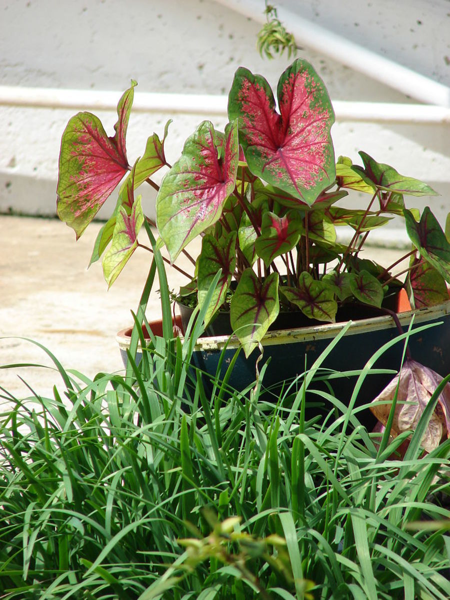 Caladiums can be grown in containers.