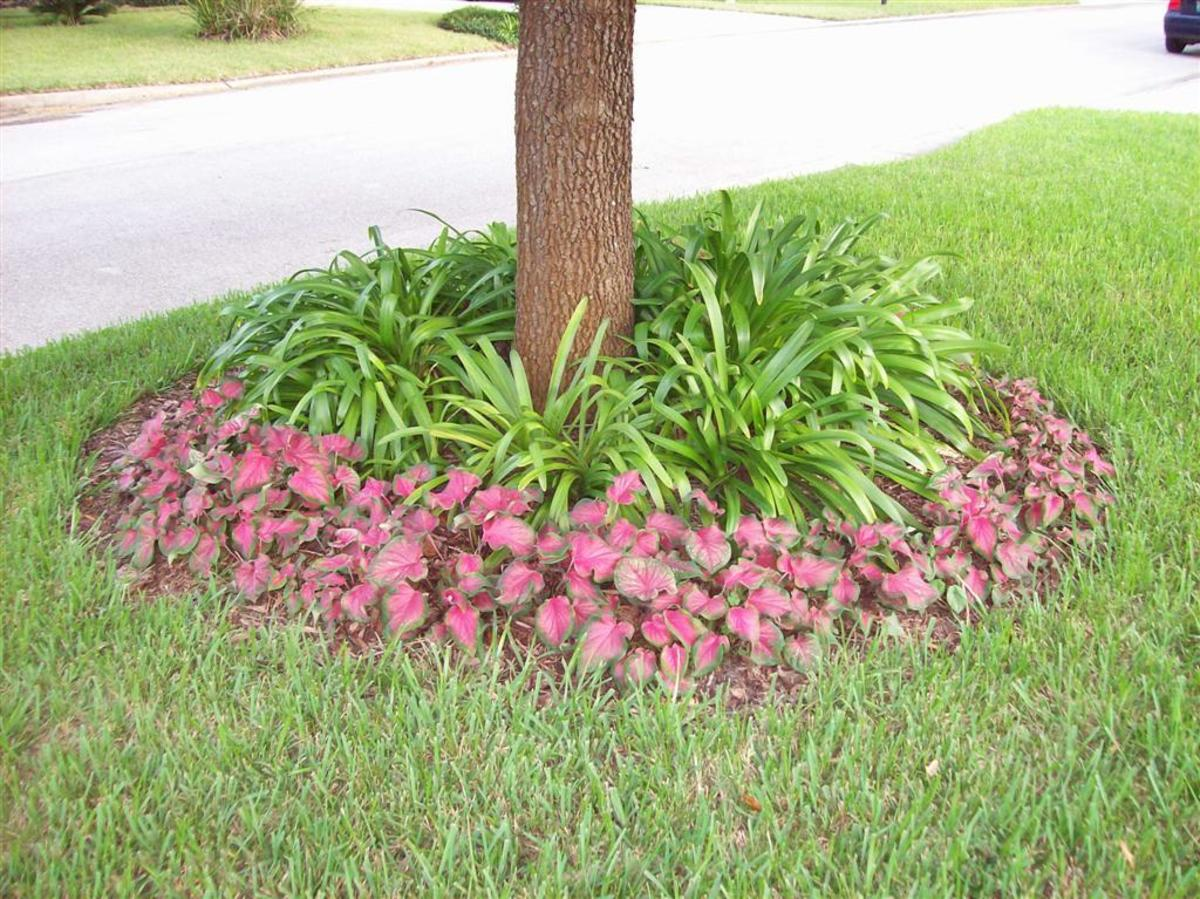Caladiums grown as an edging.