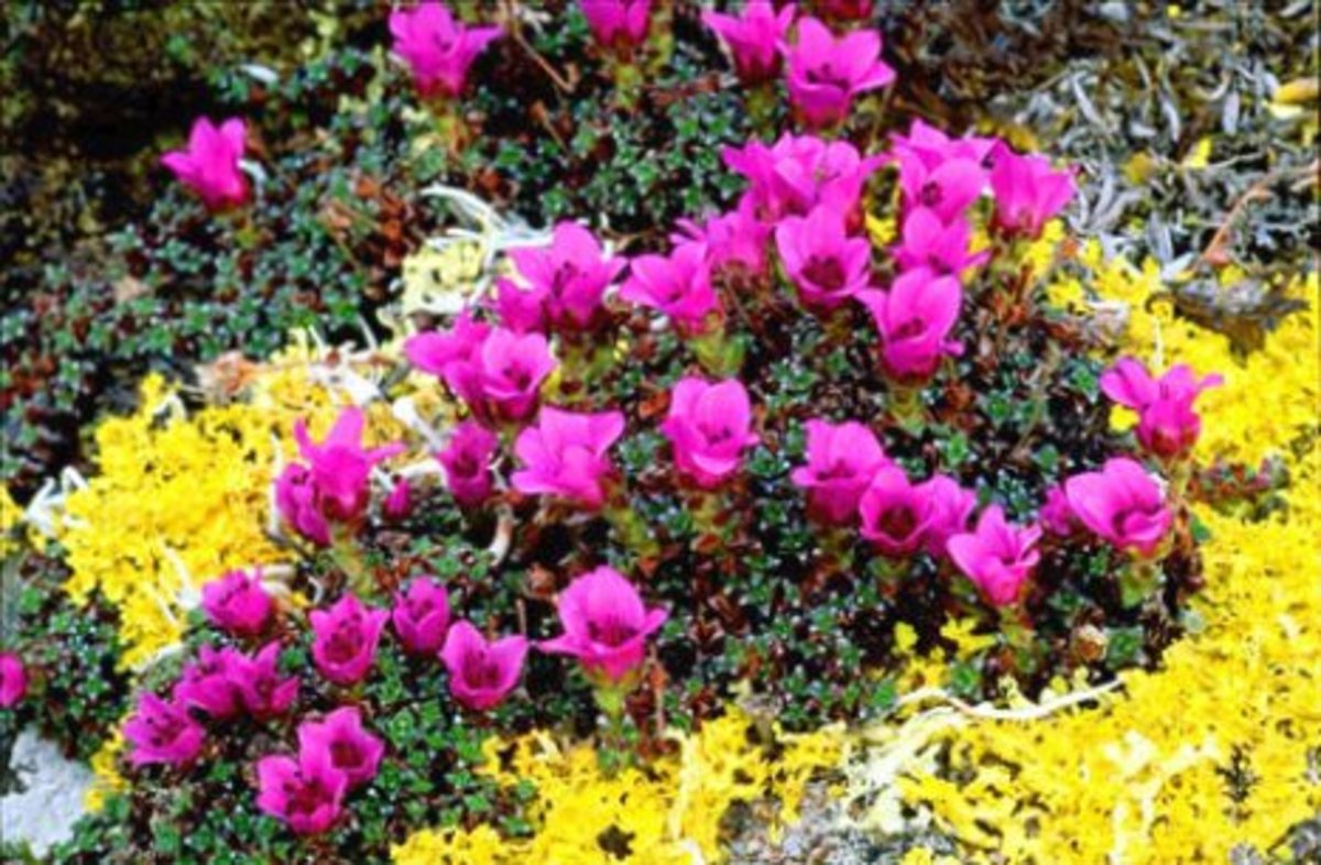 The flowers in purple are Saxifrages