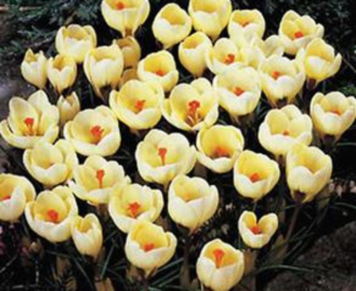 chrysanthus
