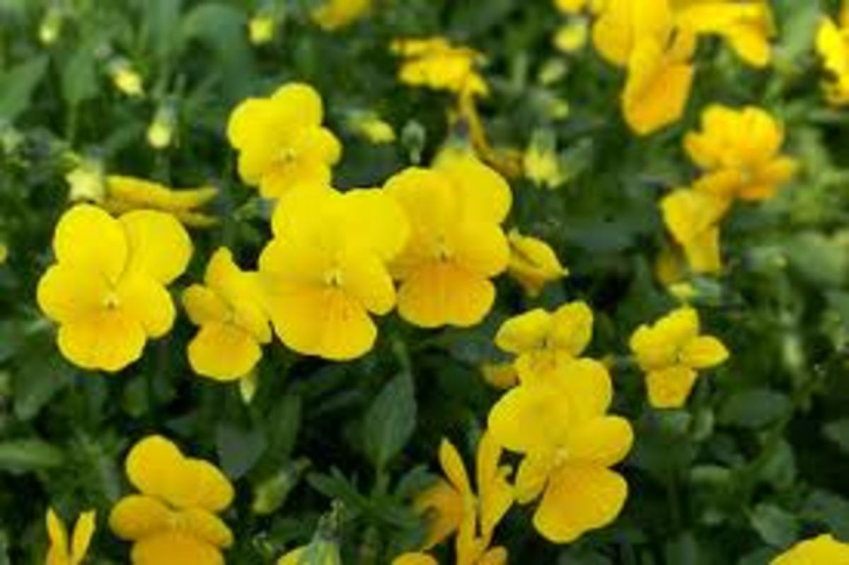 Viola lutea