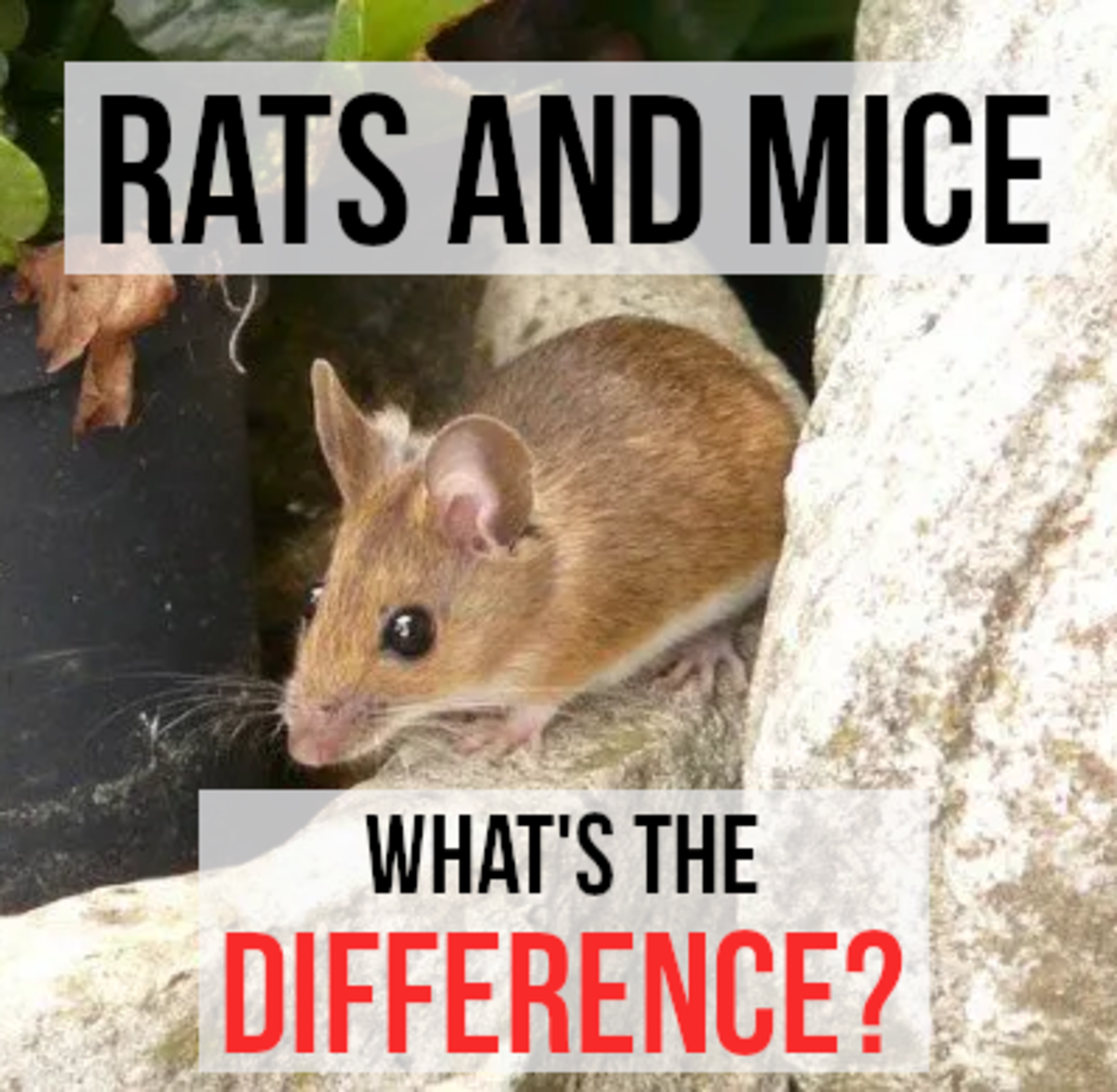 What's the Difference Between a Rat and a Mouse?