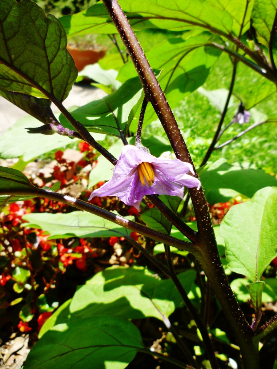The pretty blooms of the Chinese Eggplants