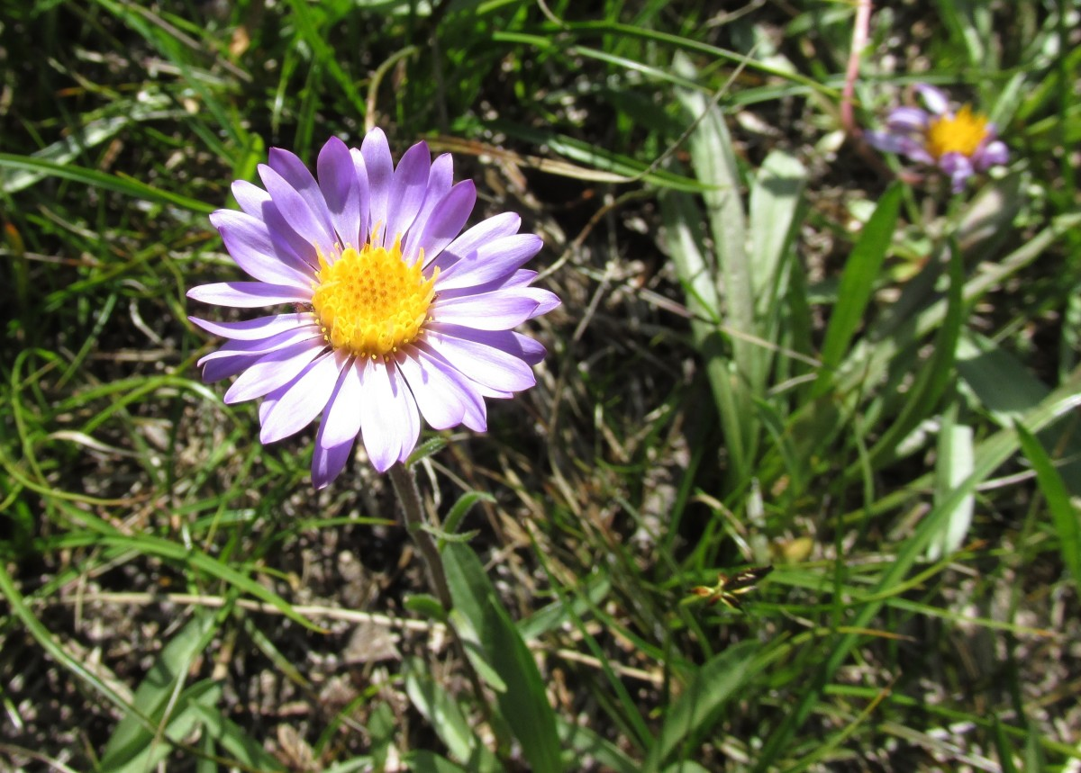 Asters often take on the appearance of very small daisies.