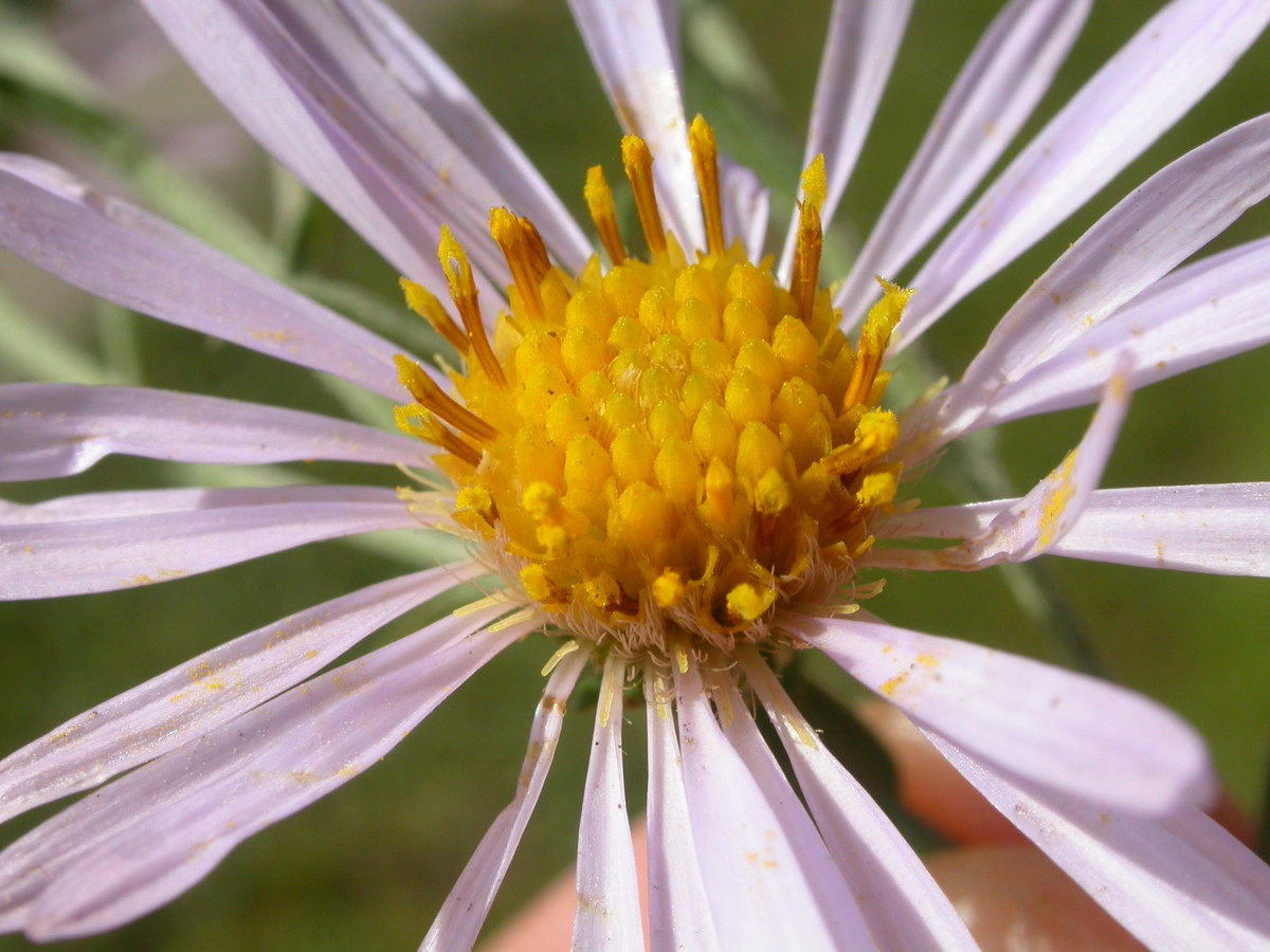 Smooth Aster has small daisy-like petals in light lavender.