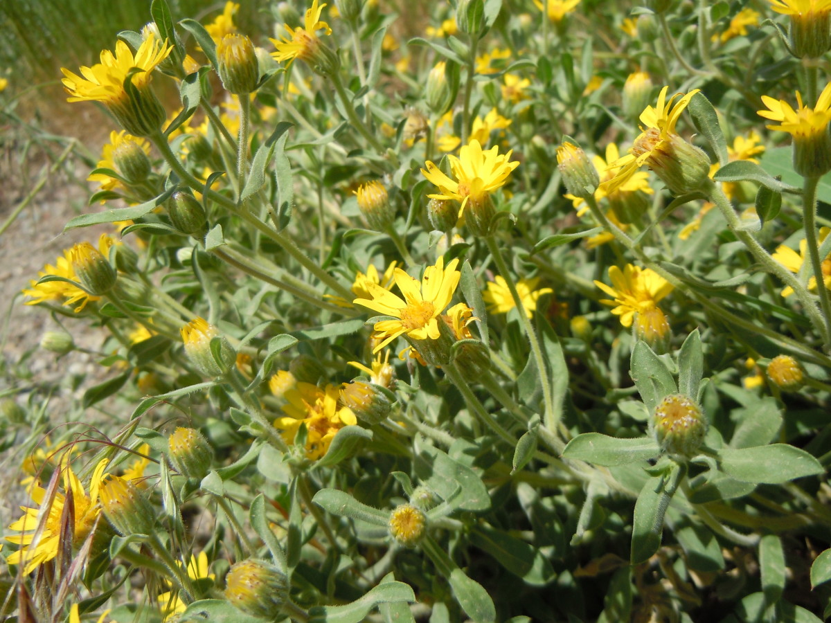 Golden Aster blooms freely, but also has a wild-looking appearance.