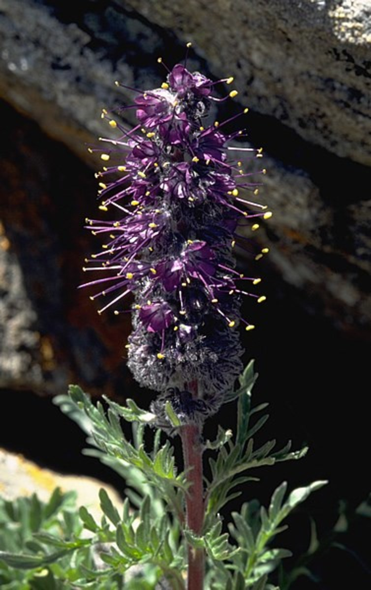 Purple Fringe has a unique look that becomes more striking in large clumps.