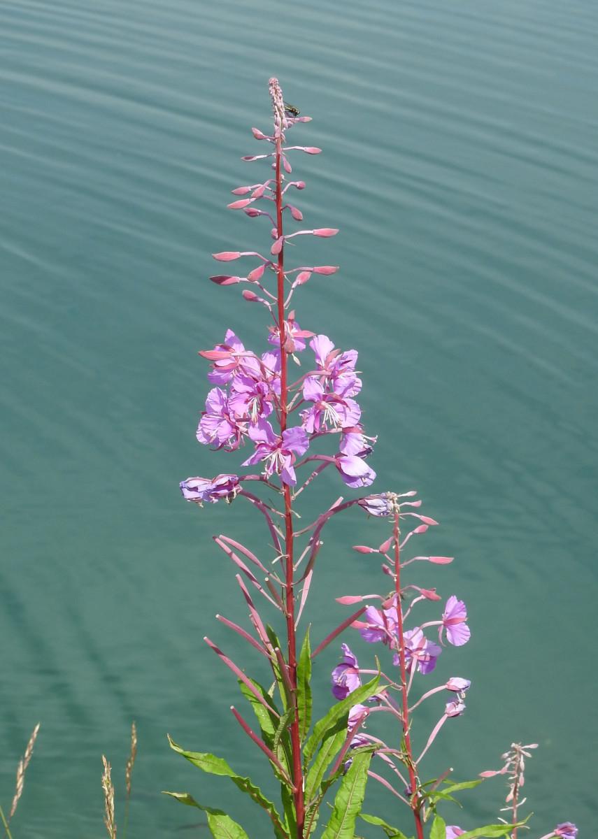 Fireweed can grow well near water.