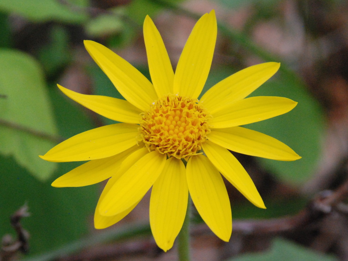 In close-up, Arnica looks like a yellow daisy.