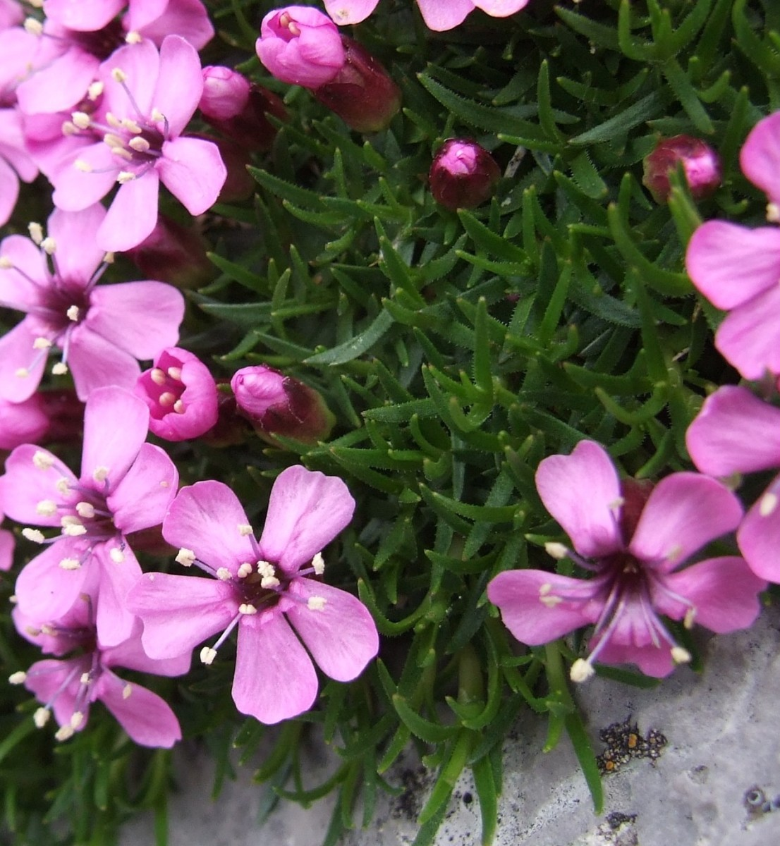 Native Cushion Pinks are much better for the garden than the typical Dianthus.