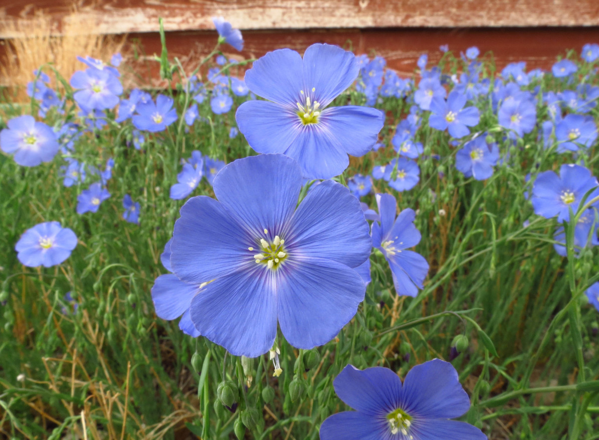 Blue Flax offers a mass of light blue flowers early in the season.