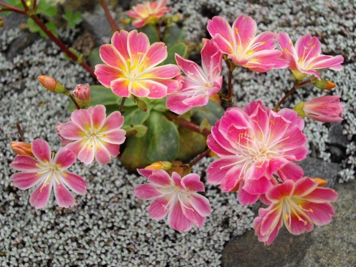 The lovely pink petals of Lewisia have contrasting yellow accents.
