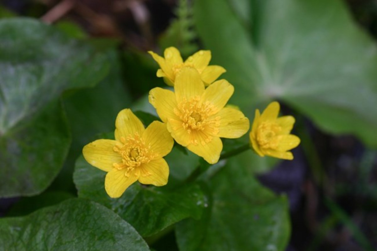Marsh marigold is low-growing and blooms in swampy areas early in the Spring.