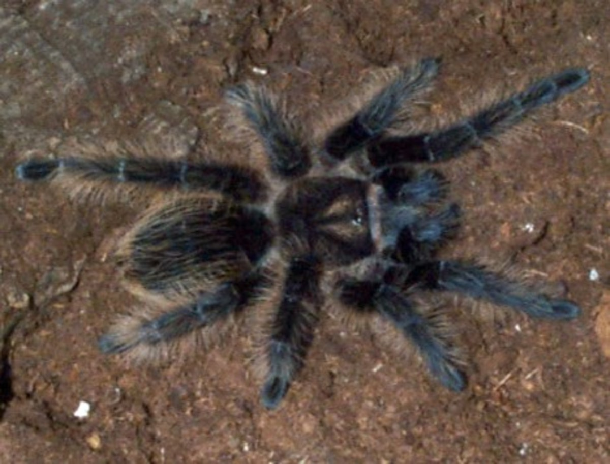 The Curly Hair Tarantula