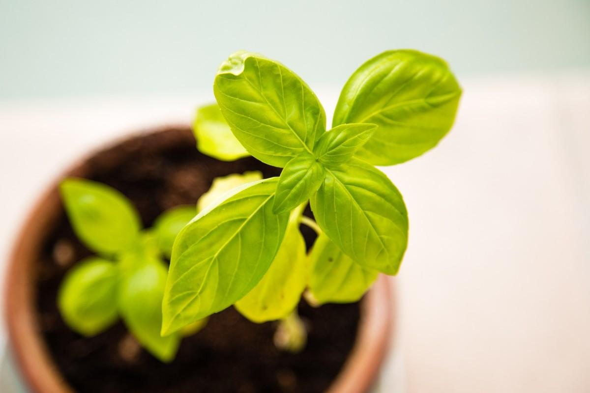 Basil plants grow fast.