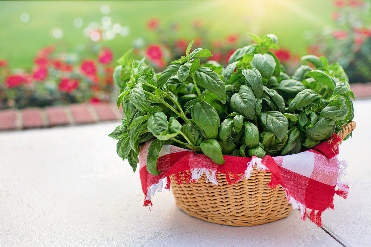 It is easy to grow basil, just follow this guide.