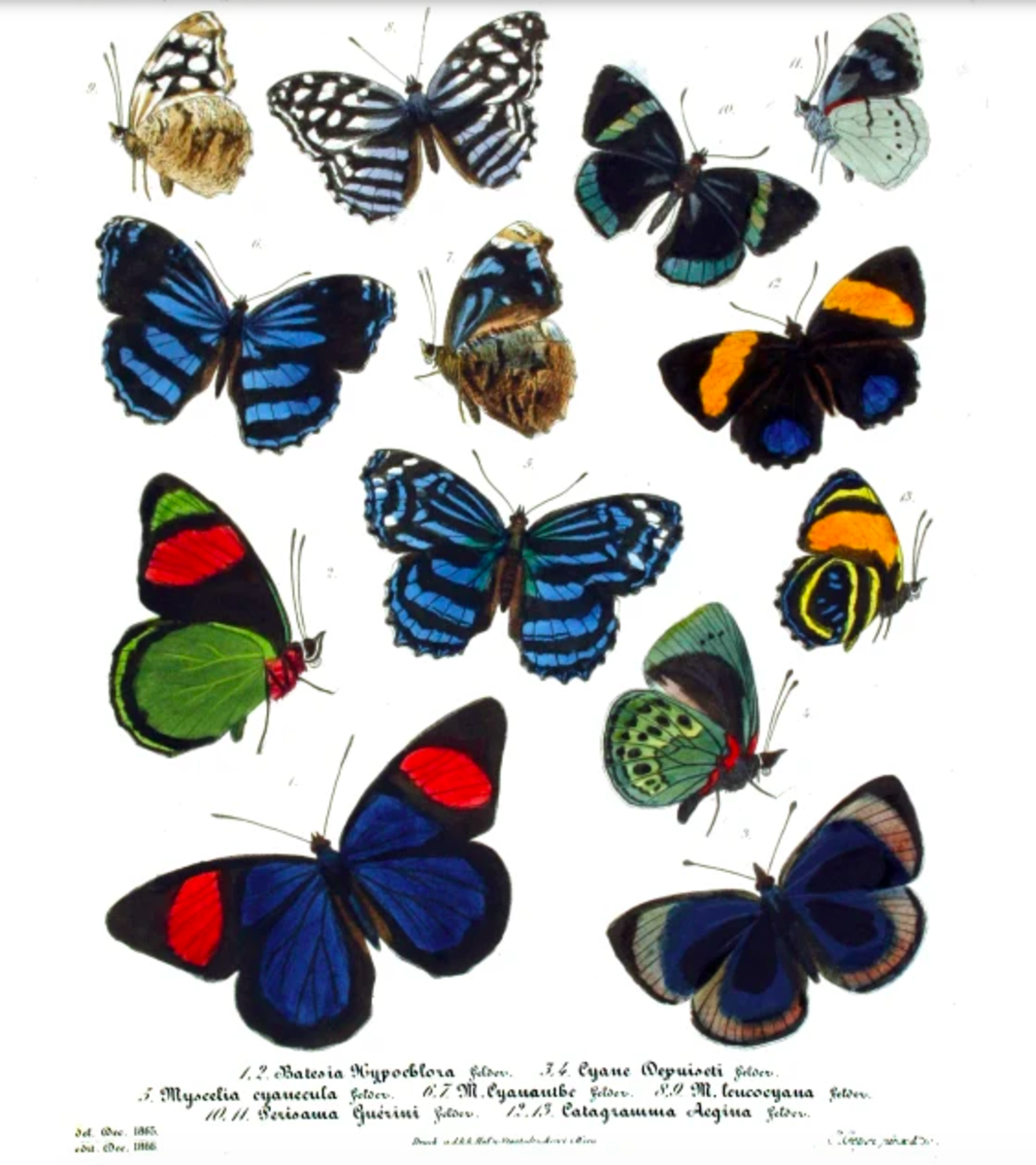 Some of the viceroy butterfly's relatives from around the world -- the family Nymphalidae