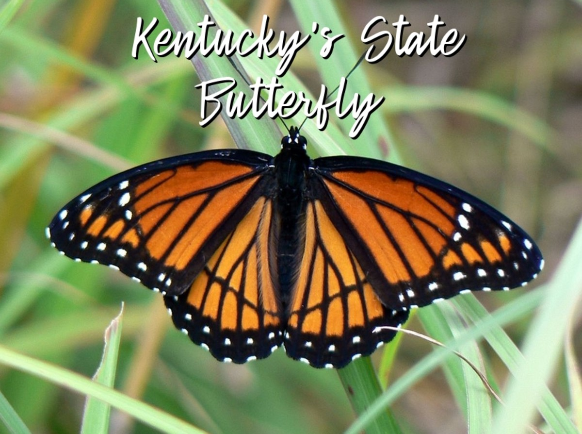 state-insect-of-kentucky