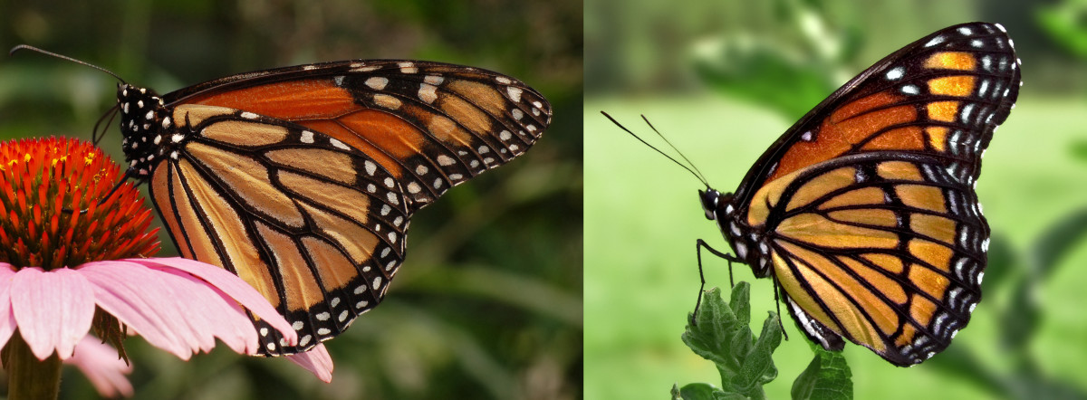 The monarch, left, and the viceroy, right