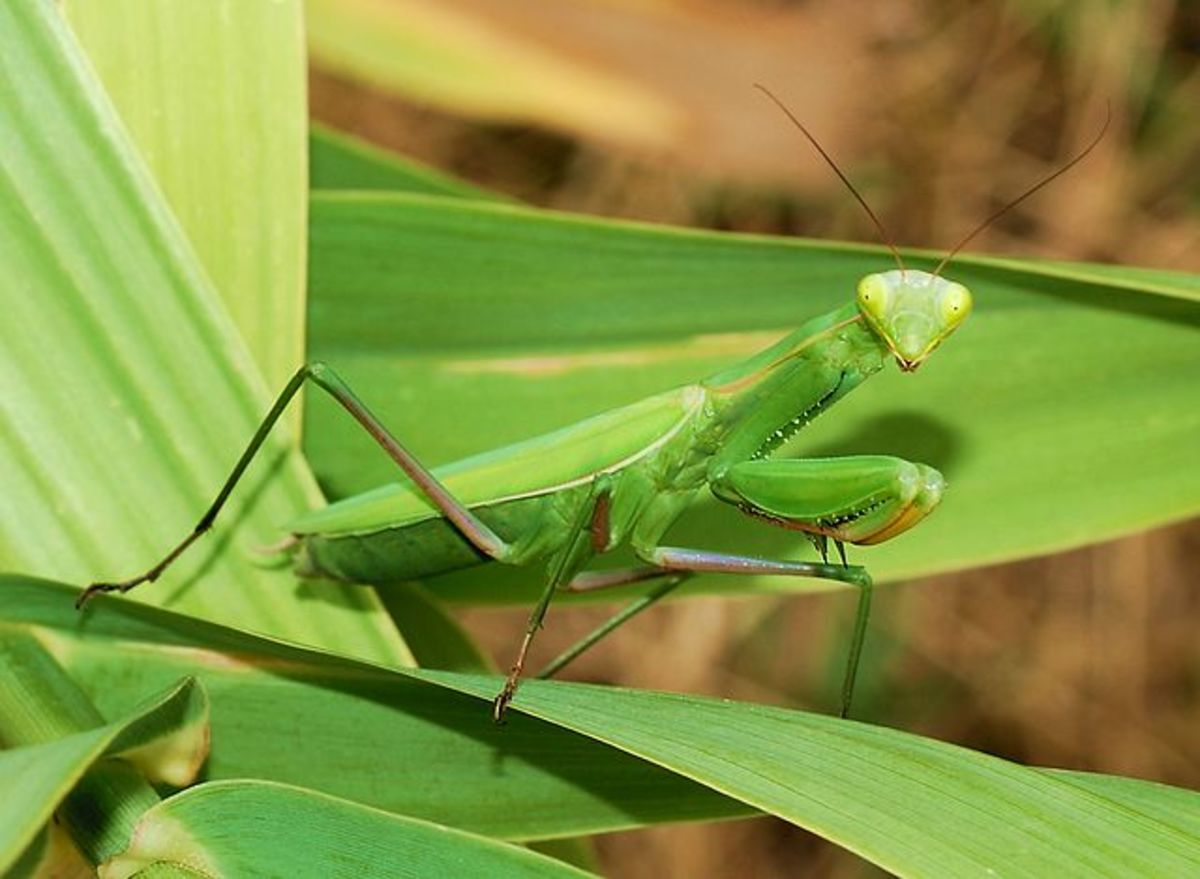 The amazing European mantis