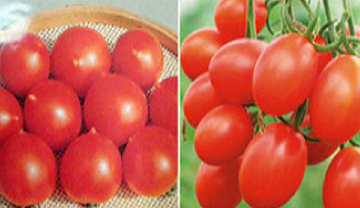 Which is Which? Cherry Tomatoes or Grape Tomatoes?