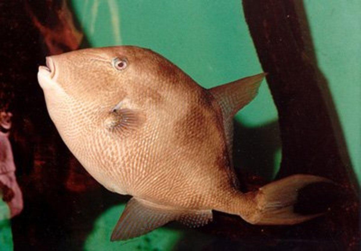 GreyTriggerfish