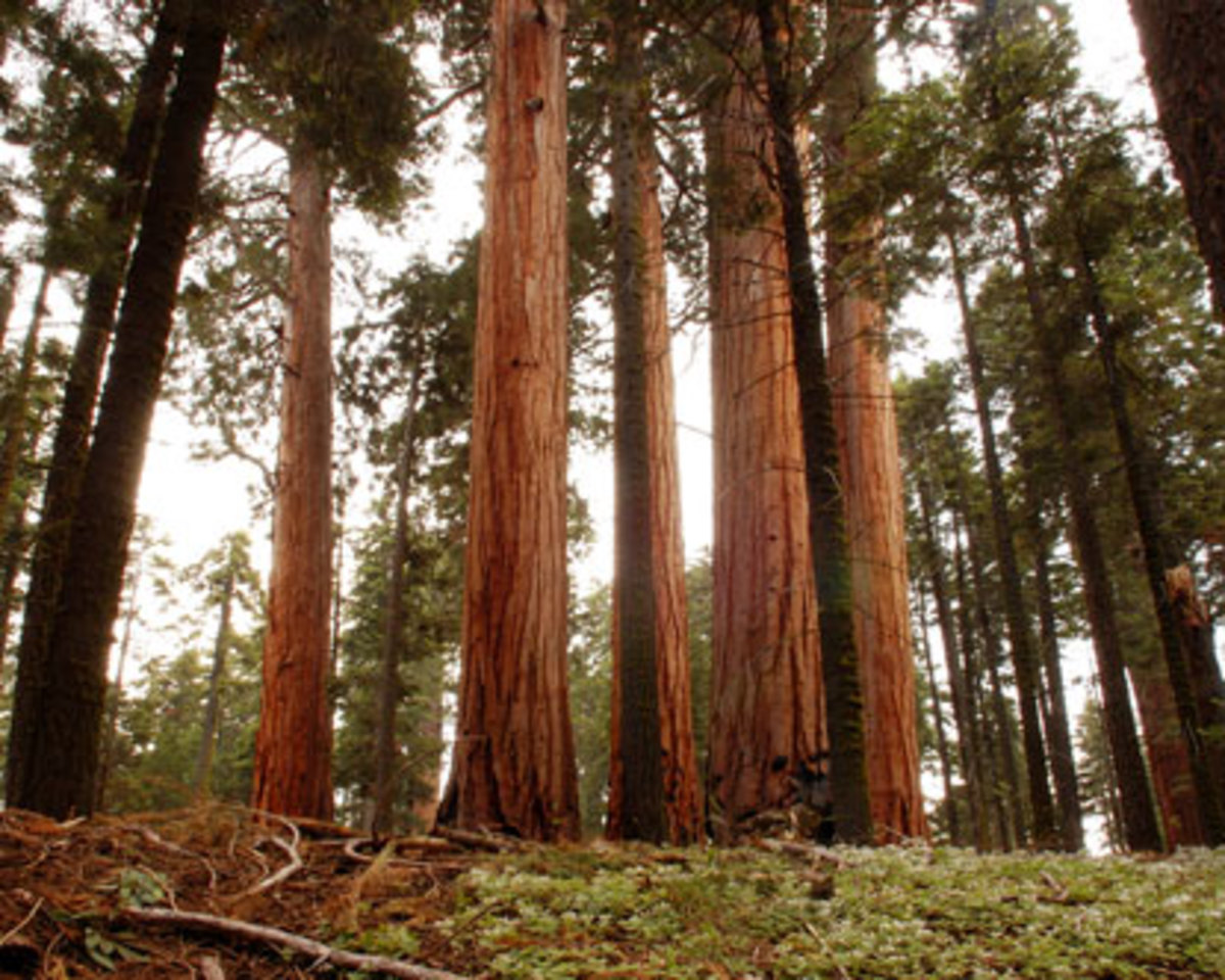 The Redwood Forest is pure majestic beauty. Redwood trees provide a thick canopy that blocks all but the strongest sun rays from reaching the forest floor. The Redwood forest is a natural cathedral; full of mystery and awesome beauty.