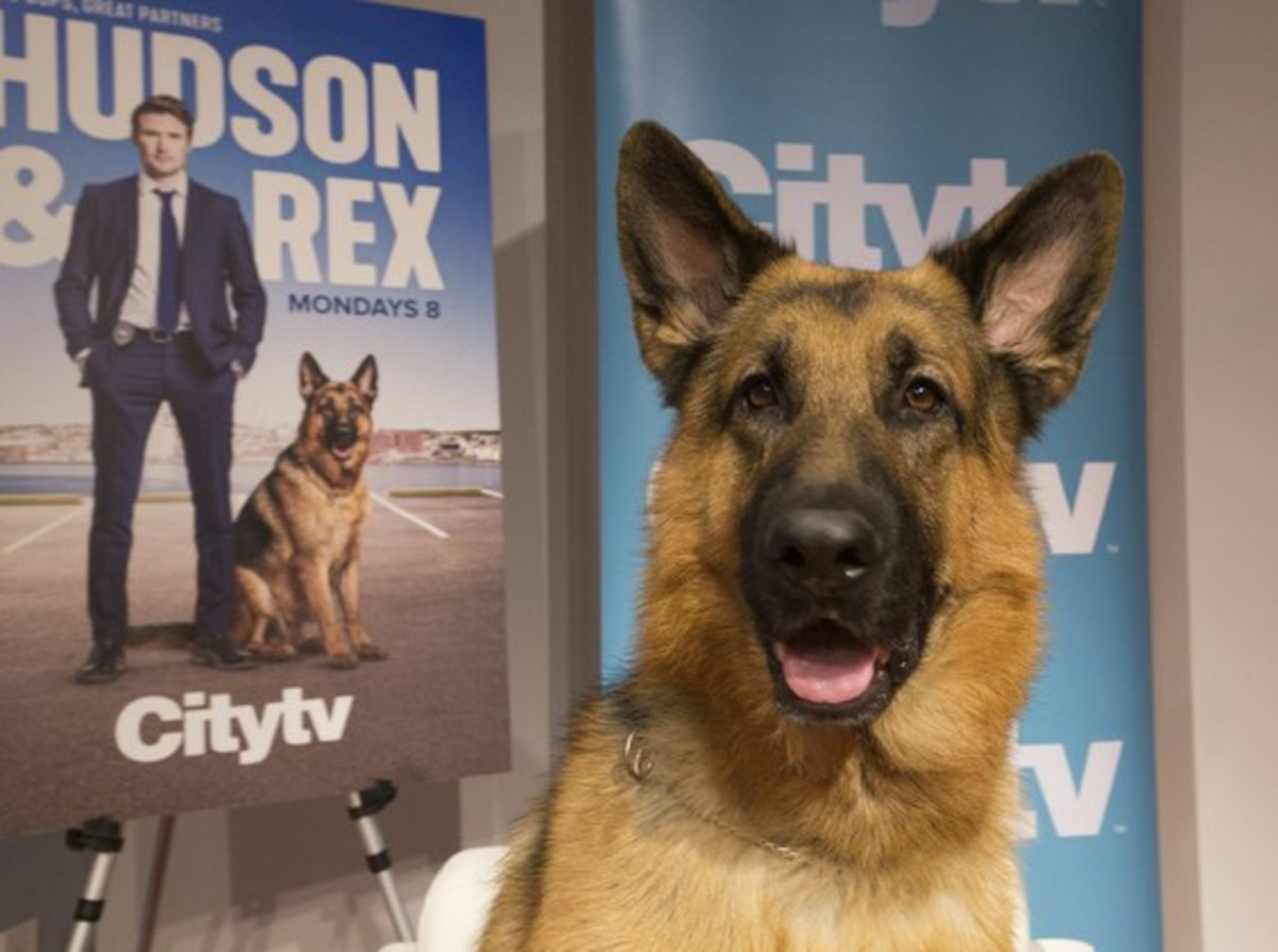 Meet German Shepherd Diesel vom Burgimwald, Star of Canadian TV Show