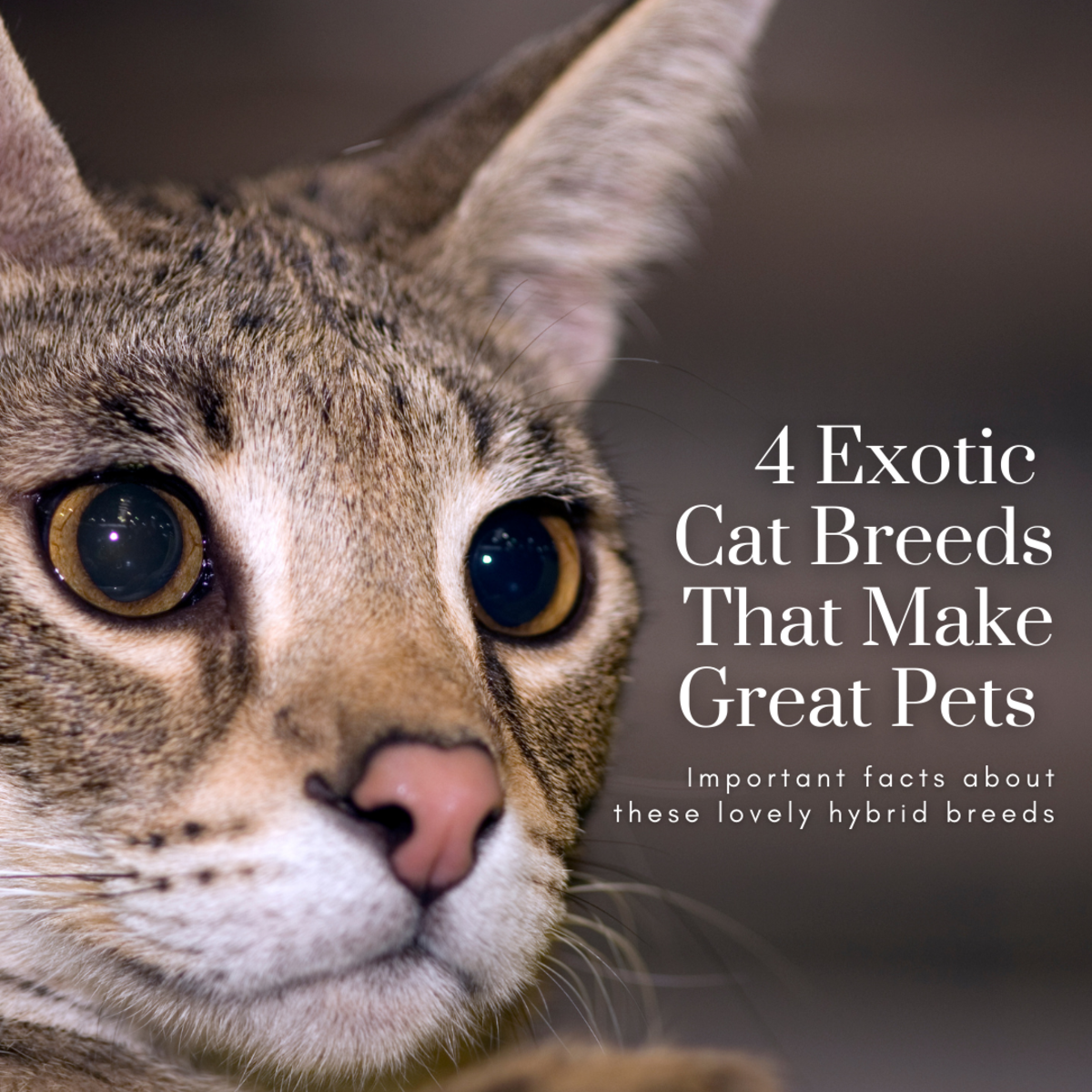 This article will take a look at four exotic hybrid cat breeds that are still fit for domestication.