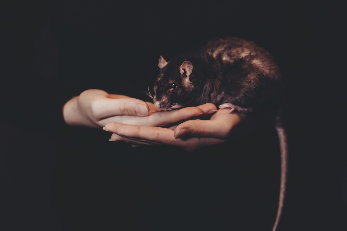With proper socialization, most pet rats like to be held.