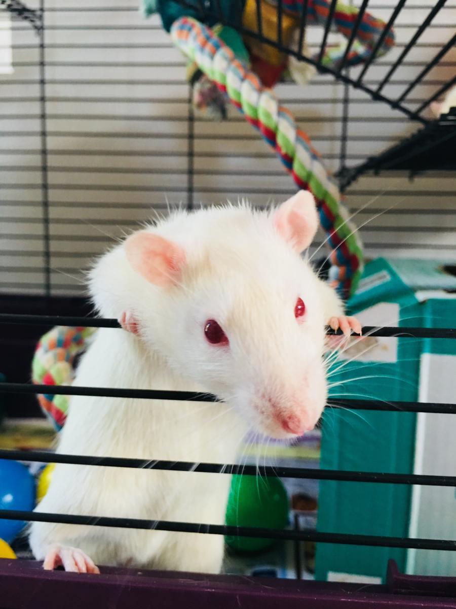 reasons-pet-rats-bite
