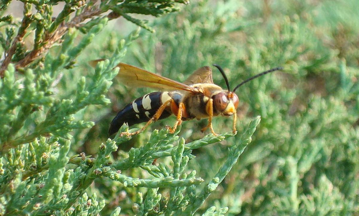 The Cicada Killer Wasp