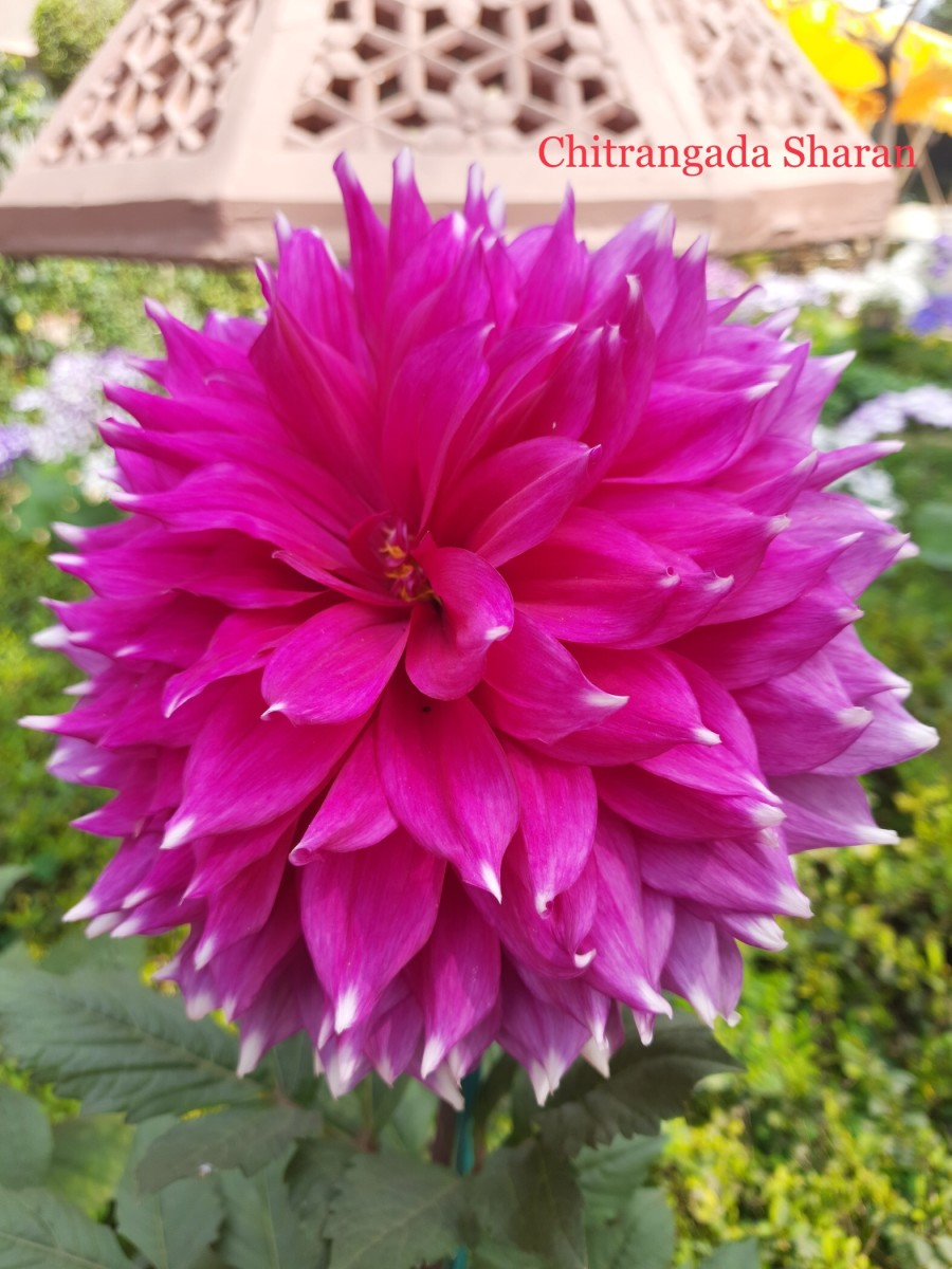 Dahlias in full bloom in my garden