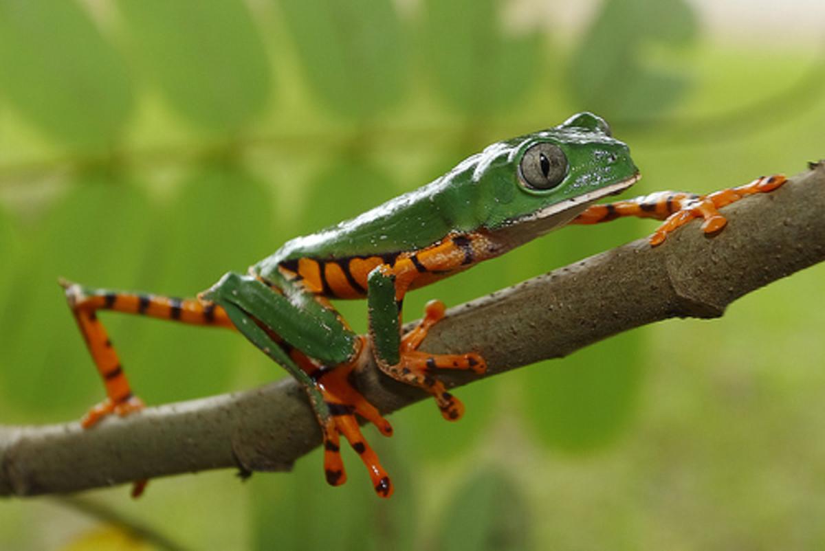 Orange Legged Leaf Frog